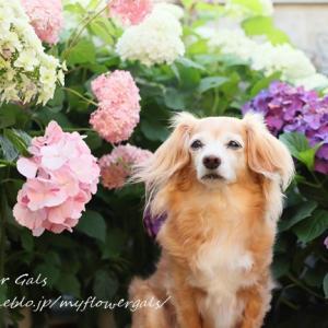 紫陽花とLilly&蘭 2
