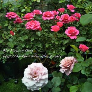 今日のバラと食事療法