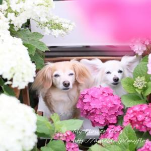 娘たちと我が家の紫陽花