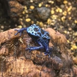 コバルトヤドクガエルの繁殖期