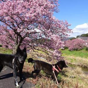 南伊豆町 みなみの桜 2020