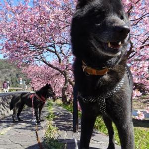 みなみの桜~多々戸浜