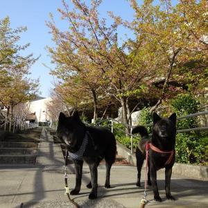 朝のロング散歩&フォー甲斐犬団子