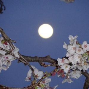 ピンクムーン&桜