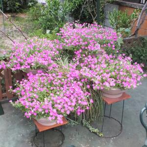 5月~11月咲き続ける、ブリエッタが豪華に咲いております。