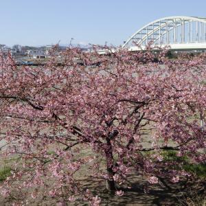 多摩川河川敷の河津桜