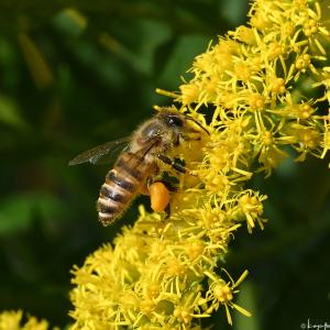 多摩川河川敷のミツバチ ハチ 049