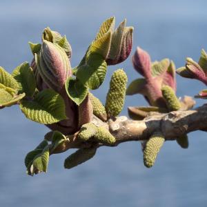 多摩川河川敷のクルミの新芽