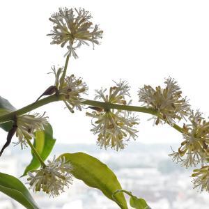 窓辺の幸福の木の花