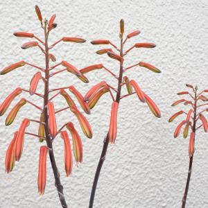 ベランダのアロエの花