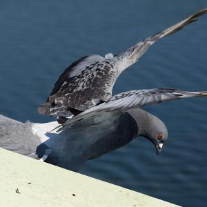 多摩水道橋から飛び立つカワラバト カワラバト 001