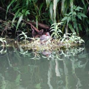 川原散歩・カイツブリの巣