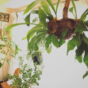 自作のハンギング植物のその後と今年の夏