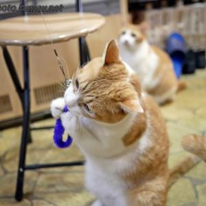 ヨチャさん乱入! 7月のてまり猫さんズ・その3