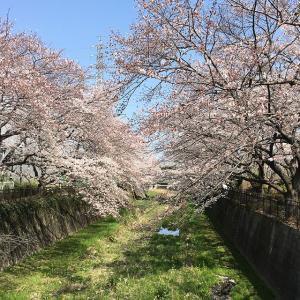 東京よもやま桜