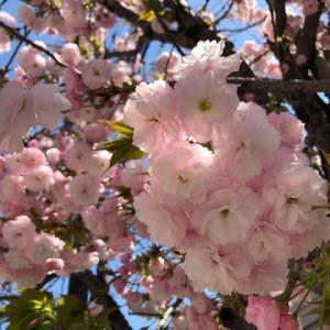 牡丹桜@松山三番町通り