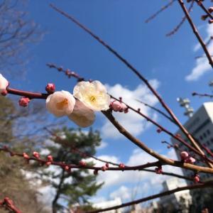 今日の梅 &   今日の桜 @城山公園