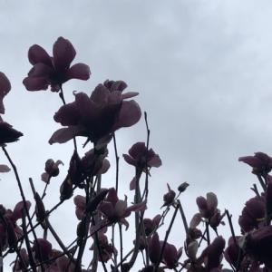 雨があがったら桜が咲くかな@松山