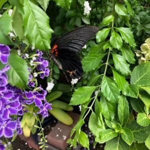 トンボがいっぱい!蝶々もいっぱい!「羽化」は英語で?