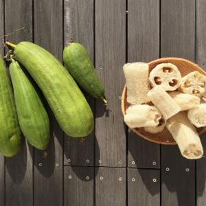 ヘチマタワシ、ヘチマスポンジの作り方