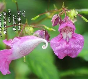 No.688 釣船草 (花言葉:心を休める・安楽・期待)
