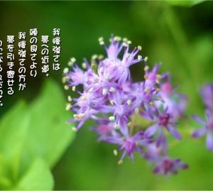 No.689 蔓穂 (花言葉:我慢強い・辛抱強さ)