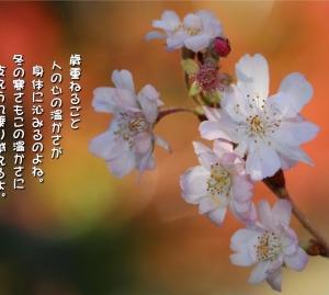 No.690 冬桜 ( 花言葉:冷静 )