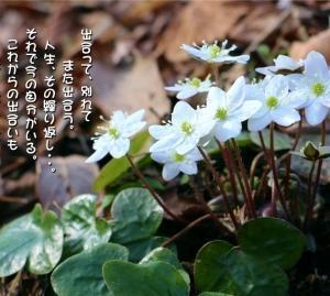 No.702 三角草 ( 花言葉:信頼・期待 )