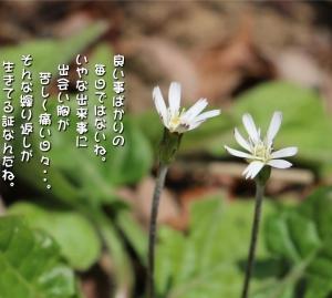 No.706 千本槍 ( 花言葉:希望・攻撃しないで )