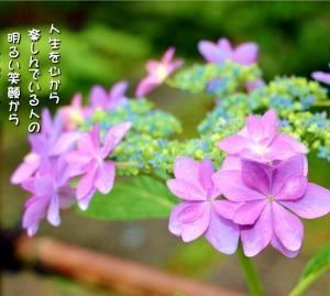 No.732 紫陽花/ダンスパーティー( 花言葉:元気な女性・家族の結びつき )