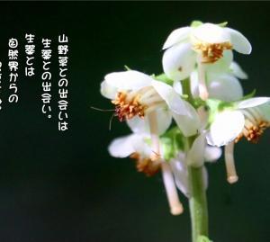 No.734 一薬草 ( 花言葉:恥じらい)
