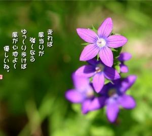 No.748 桔梗草 ( 花言葉:人当たりがいい )