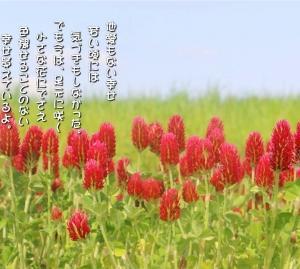 No.723 赤花詰草 ( 花言葉:幸運を呼ぶ )