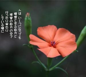 No.686 節黒仙翁 (花言葉:転機)