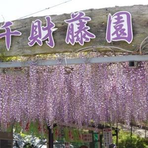 カワユイ姉妹と藤の花