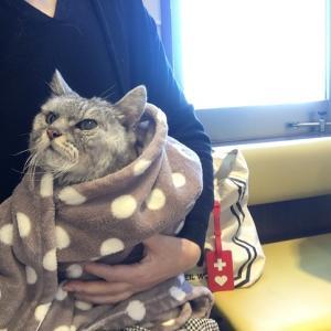 定期の動物病院受診|老猫脳炎の治療ここが限界?絶対もう一度歩かせてやりたい