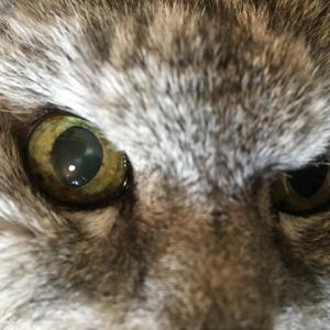 【動画あり】猫の目のしみ→メラノーシス?メラノーマ?&最近の瞳孔