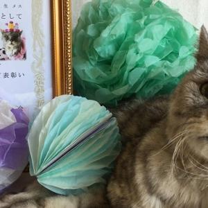 【老猫ミル18歳】日本動物愛護協会に長寿表彰状を頂きました!|動画