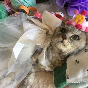 【ミル19歳に!】誕生日にウエディングドレスを着てお祝いした老猫