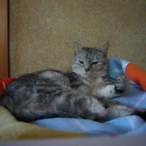 【蔵出し2008】毛づくろいの後の動きが可愛い猫 |ミル7歳|データ探し中