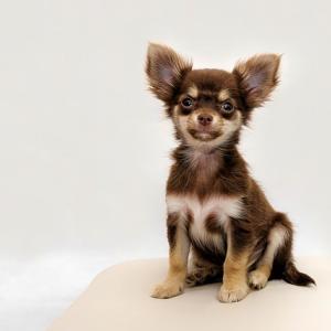 僧帽弁閉鎖不全症と自分を見失うことと小型犬【おのころ先生 病の感情学】