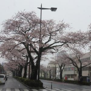 穴場!かな?雪見桜