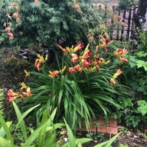 朝の庭 ヘメロカリス
