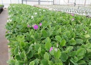 耐寒メラコ うぐいす & イチゴの摘み取り 2日目