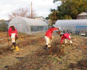 朝からいも掘り & イチゴの様子