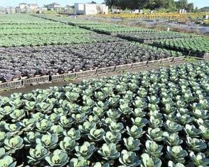 ハボタン & ガーデンマム ジジ & 野菜畑