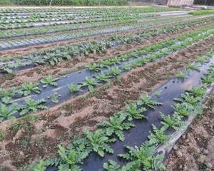 野菜畑 & 露地ビオラ & 夕焼け
