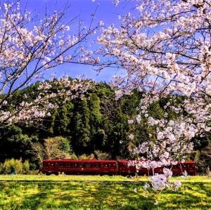 ことこと桜、満開まであと一歩!!!