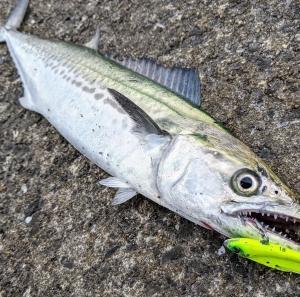 博多湾、シーバス釣れん・・・(その2)。