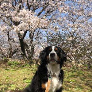 桜と菜の花畑にて